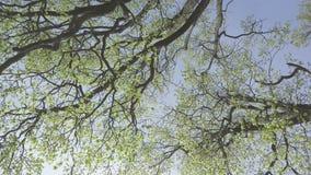 Dolny widok na drzewach z potomstwami zielenieje ulistnienie w wczesnej wiośnie przeciw tłu niebieskie niebo zdjęcie wideo
