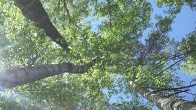 Dolny widok od poruszającej kamery na brzozach z potomstwami zielenieje ulistnienie przeciw tłu niebieskie niebo 4K Ultra zbiory wideo