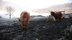 Dolomías Bisonte mullido que pasta en el campo de nieve metrajes