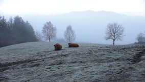 Dolomías Bisonte que pasta en el campo de nieve almacen de metraje de vídeo