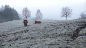 Dolomías Situación del bisonte en el campo de nieve almacen de video
