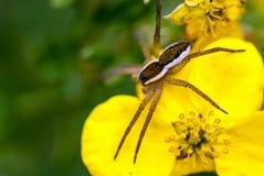 Dolomedes fimbriatus na żółtym kwiacie Obraz Stock
