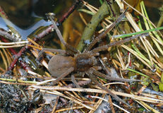 Dolomedes plantarius spider Stock Photos