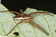 Dolomedes spider sitting on leaf. Royalty Free Stock Images