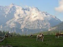Dolomia italiane - mucche sotto le montagne Fotografia Stock