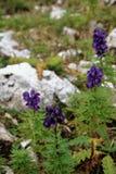 Dolomit ` s purpurrote wilde Blumen - Aconitum Stockfotografie