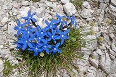 Dolomite, Italy. Gentiana verna in Dolomiten, Italy Stock Photography