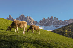 Dolomite mountains with eating cows Royalty Free Stock Photography
