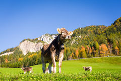 Dolomites Alps, Funes Valley, Cow Stock Image
