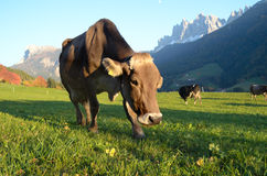 Dolomites mountain cow stock image