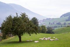 Dolomites mountain Sheep Stock Photo