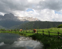 Dolomites - Rosengarten mountain range. The Rosengarten in its full glory, mirroring in the lake which is surrounded by cows/cattle Stock Image