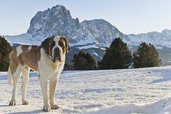 Dolomitesna och en San Bernardo Royaltyfria Foton