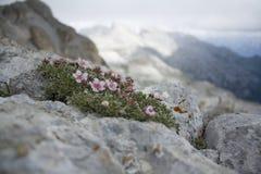 Dolomiti: flores en la roca Fotos de archivo libres de regalías