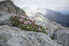 Dolomiti: flowers in the rock Royalty Free Stock Photos