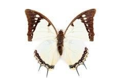 Dolon blanco y negro de Polyura de la mariposa imágenes de archivo libres de regalías