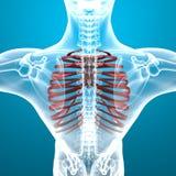 Dolor esquelético del ribcage del hombre que respira Fotos de archivo libres de regalías