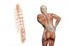 Dolore alla schiena di visione anatomica Fotografia Stock