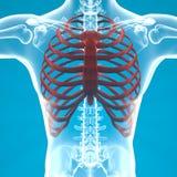 Dolore di scheletro di gabbia toracica dell'uomo che respira Fotografia Stock Libera da Diritti