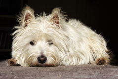 Dolorous Terrier Lizenzfreie Stockfotos