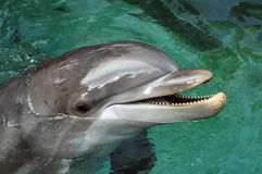 Dolphin. Posing to the camera royalty free stock photo