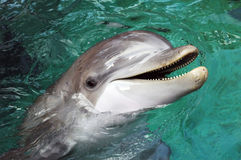 Dolphin. With its mouth open stock photos