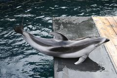 Dolphin 1. Pacific white-sided dolphin emerging from water Stock Images