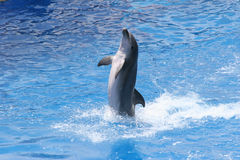 Dolphin. Pacific Bottle-Nosed Dolphin Stock Images