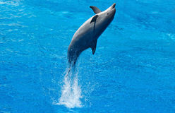 Dolphin. Portrait of dolphin in the water Royalty Free Stock Image