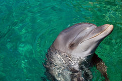 Dolphin. Bottle Nosed Dolphin playing in the sea Royalty Free Stock Images