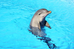 Dolphin. A dolphin in a swimming pool Stock Image