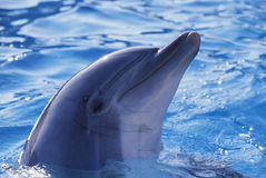 Dolphin. The dolphin in the water Royalty Free Stock Photography