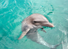 Dolphin. Big dolphin in clear water Royalty Free Stock Image
