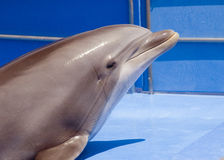 Dolphin. A dolphin in the pool Stock Photography