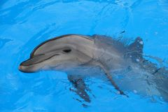 Dolphin. The world's largest dolphin, Bottlenose dolphin species stock photography