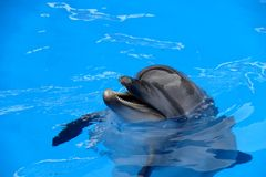 Dolphin. The world's largest dolphin, Bottlenose dolphin species stock photos