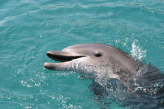 Dolphin. A Dolphin with it head out of the water Stock Image