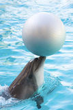 Dolphin. Amusing dolphin playing with ball Royalty Free Stock Images