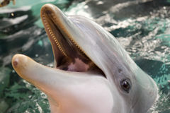 Dolphin. Bottle nosed porpoise with head out of water Stock Photography