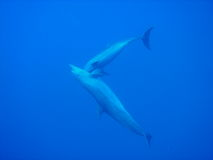 Dolphin. Two Dolphins in the blue blue ocean Stock Photography