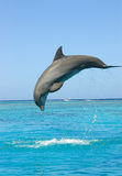 Dolphin. Side view of single dolphin breaching ocean with blue sky background Stock Photo