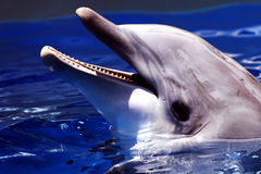 Dolphin. Smiling Royalty Free Stock Image
