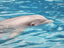Dolphin. Swimming in pool at seaworld royalty free stock photo