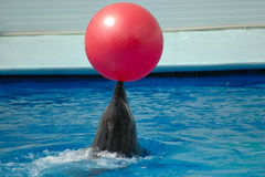 Dolphin. Plainug with red ball Royalty Free Stock Image