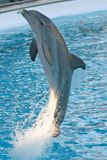 Dolphin. Alias Tursiops truncatus (bottlenosed Stock Photography