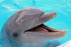 Dolphin. Alias Tursiops truncatus (bottlenosed royalty free stock images