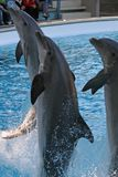 Dolphin. Alias Tursiops truncatus (bottlenosed stock photos