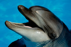 Dolphin. A dolphin's head in a blue water Royalty Free Stock Images