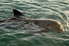 Dolphin. In the red sea Eilat Israel Stock Photography