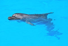 Dolphin. Relaxing dolphin in dolphinarium blue water Stock Images